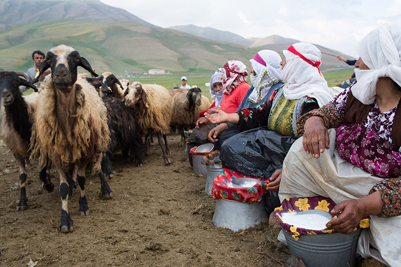 David-hagerman-milkingsheep1-van-turkey-june-2013
