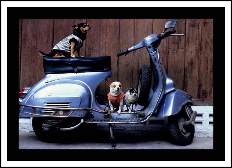 David_hagerman_chiang_mai_dogs