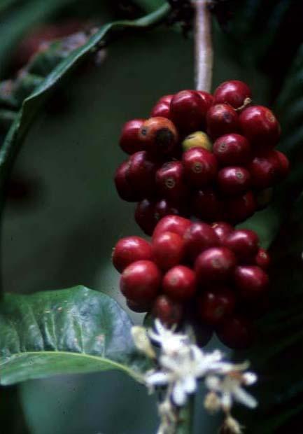 Bali_coffee_bean_on_tree