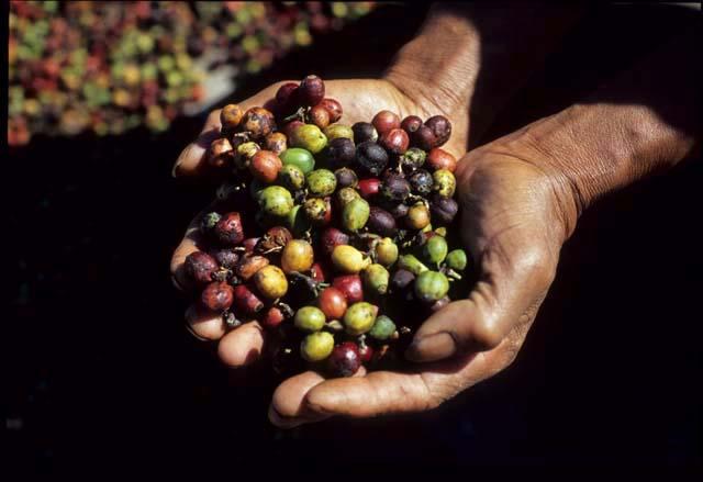Bali_coffee_cherries_in_hand