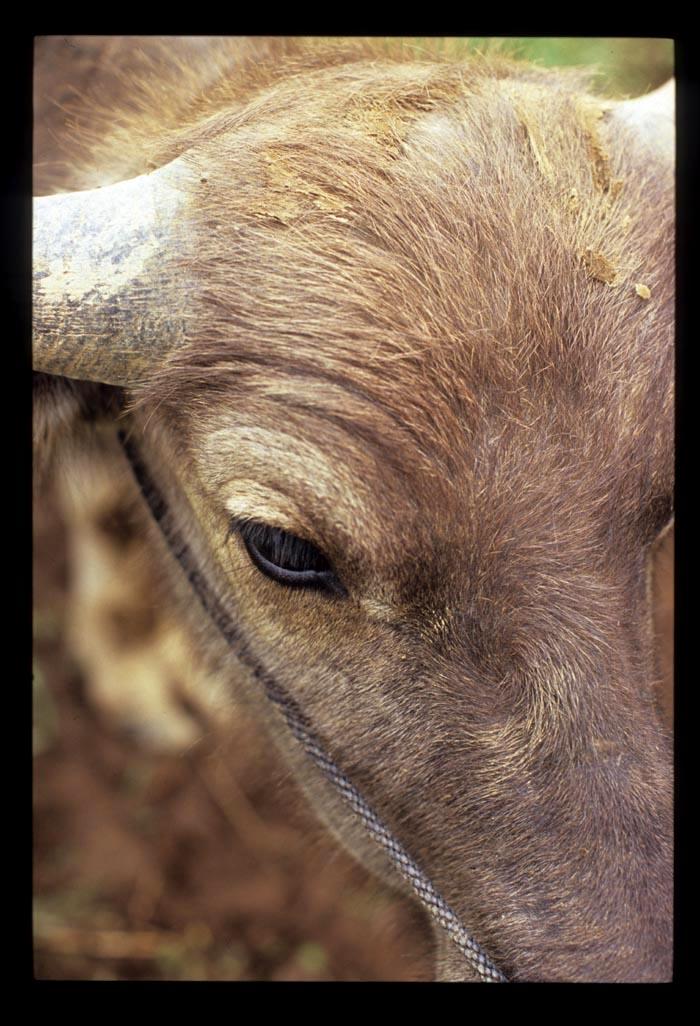 Bull_mkt_water_buffalo