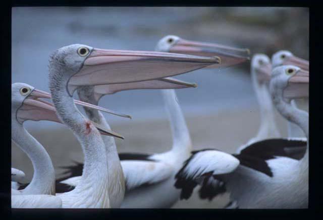 Jervis_pelican_wait