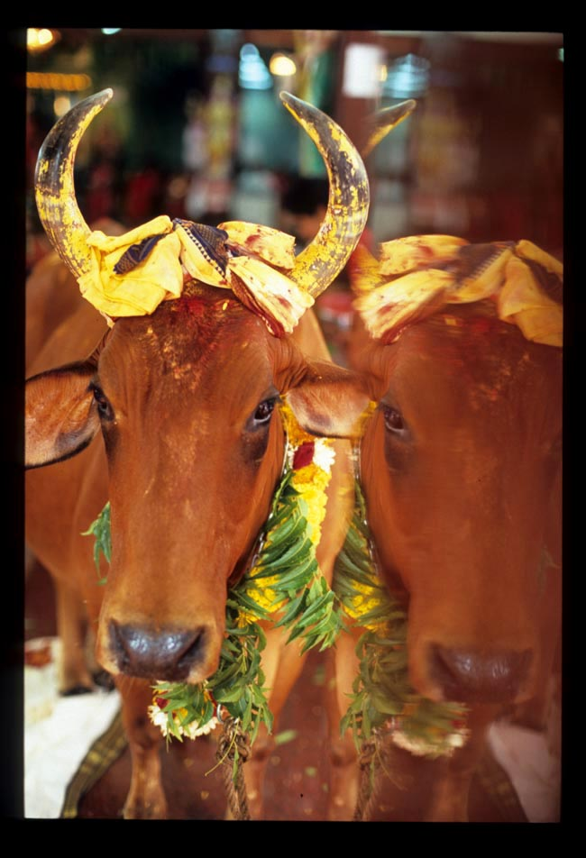 Pooja_cow_reflected