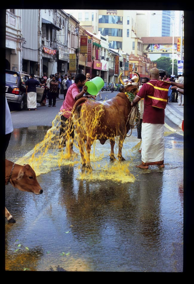 Pooja_cow_turmeric_wash