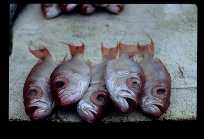 Tamu_bigeyed_fish