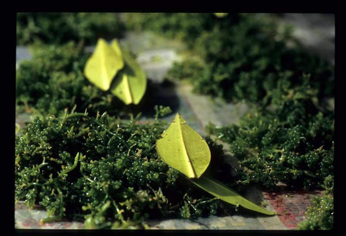 Tamu_seaweed_1