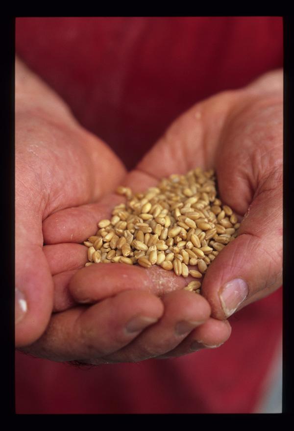 Wheat_berries_before_milling